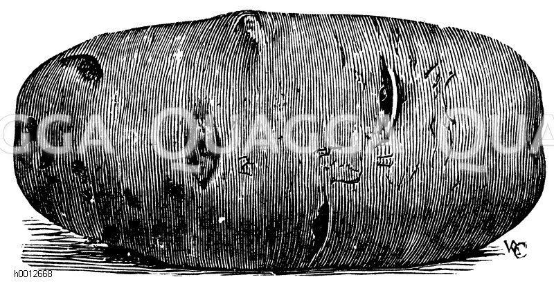 Kartoffel: Sorte Magnum bonum Zeichnung/Illustration