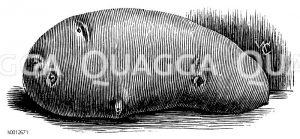 Sechswochenkartoffel Zeichnung/Illustration