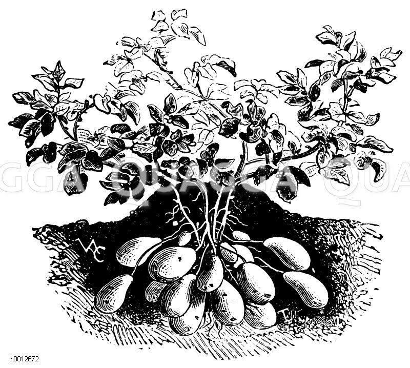 Angehäufelte Kartoffelpflanze Zeichnung/Illustration