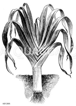 Porree Zeichnung/Illustration