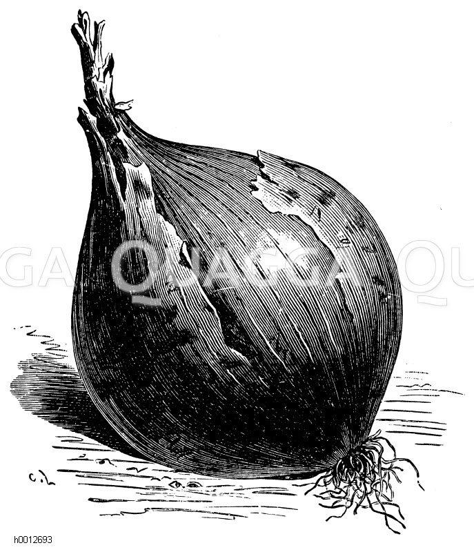 Madeirazwiebel Zeichnung/Illustration