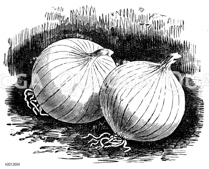 Silberweiße runde Zwiebel Zeichnung/Illustration