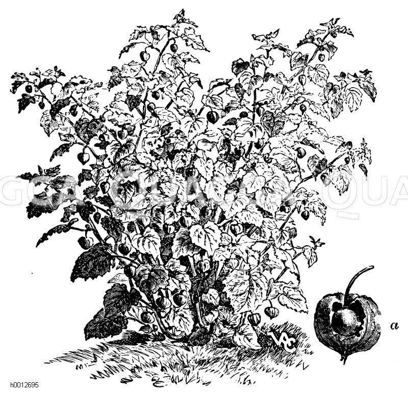 Blasenkirsche: a) Frucht Zeichnung/Illustration