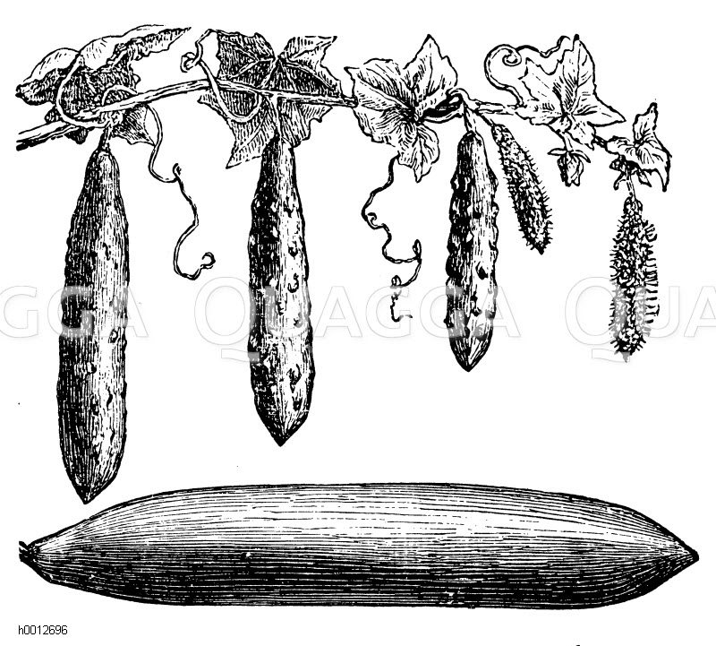 Hampels verbesserte Mistbeetgurke Zeichnung/Illustration