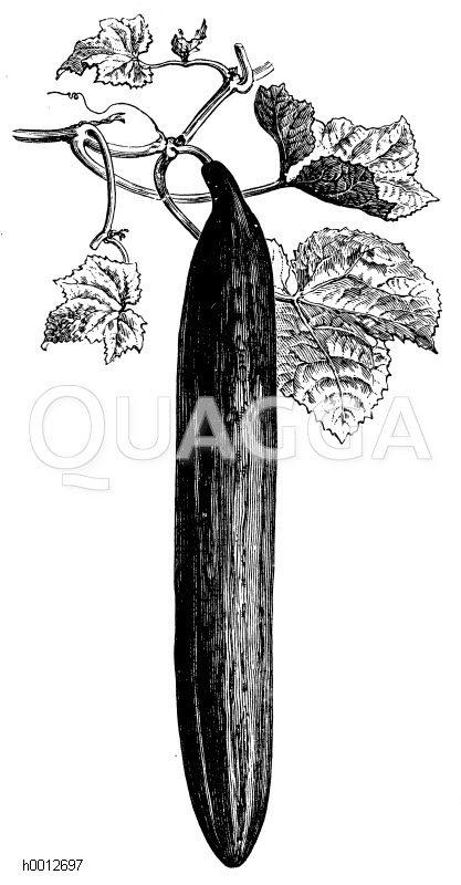 Lange grüne Schlangengurke Zeichnung/Illustration
