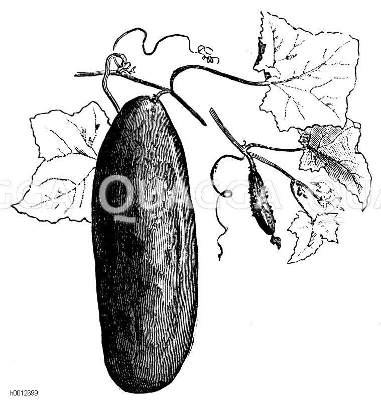 Gurke: Cornichon Zeichnung/Illustration