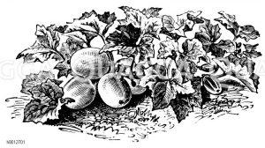 Russische Traubengurke Zeichnung/Illustration