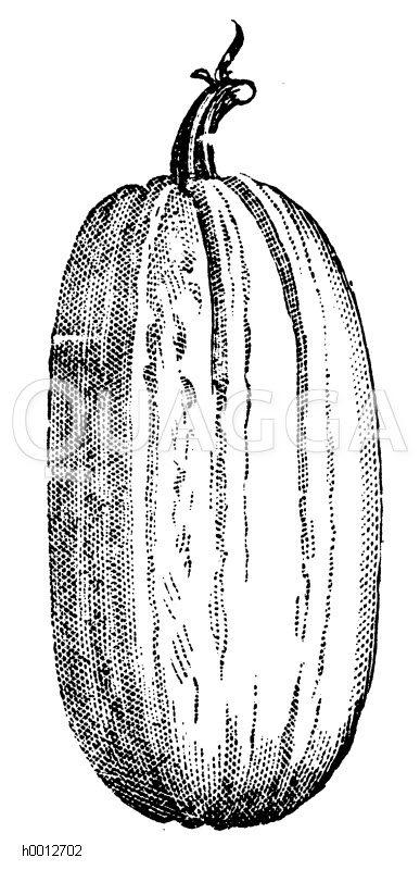 Englischer Schmeerkürbis Zeichnung/Illustration
