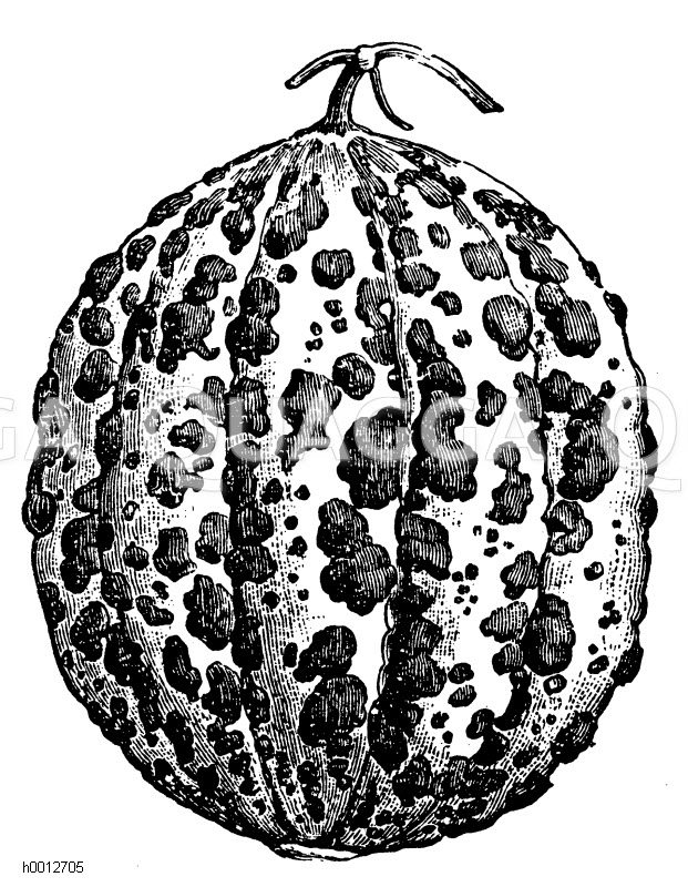 Cantaloupmelone Zeichnung/Illustration