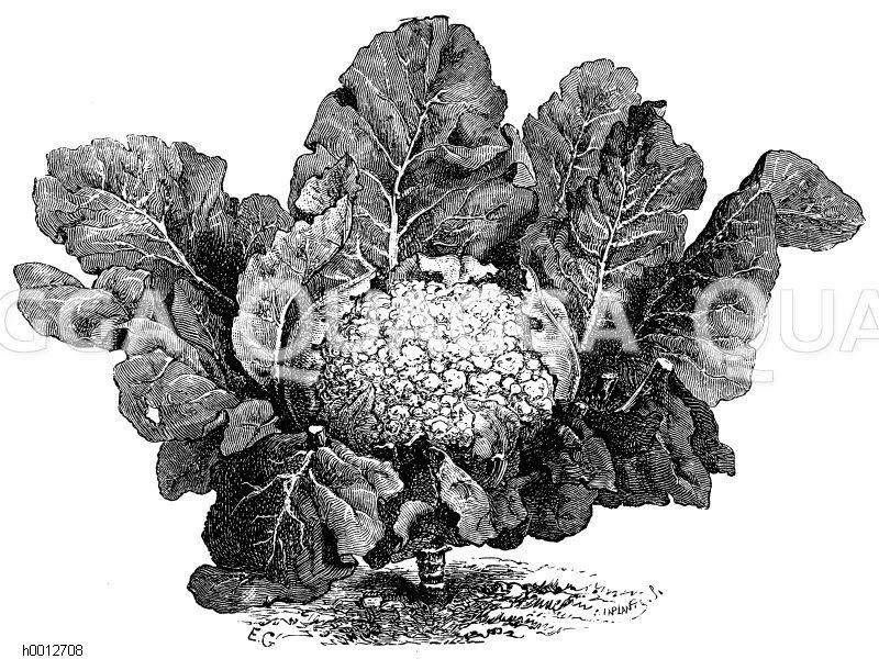 Frankfurter Riesenblumenkohl Zeichnung/Illustration