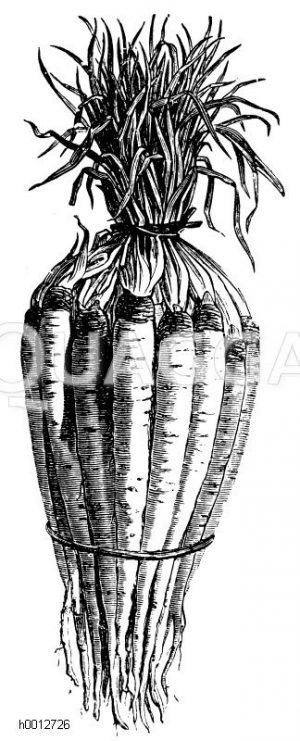 Haferwurzel Zeichnung/Illustration