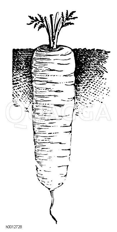 Halblange Karotte von Nantes Zeichnung/Illustration