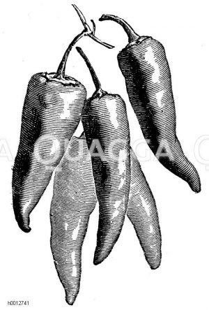 Roter langer spanischer Pfeffer Zeichnung/Illustration