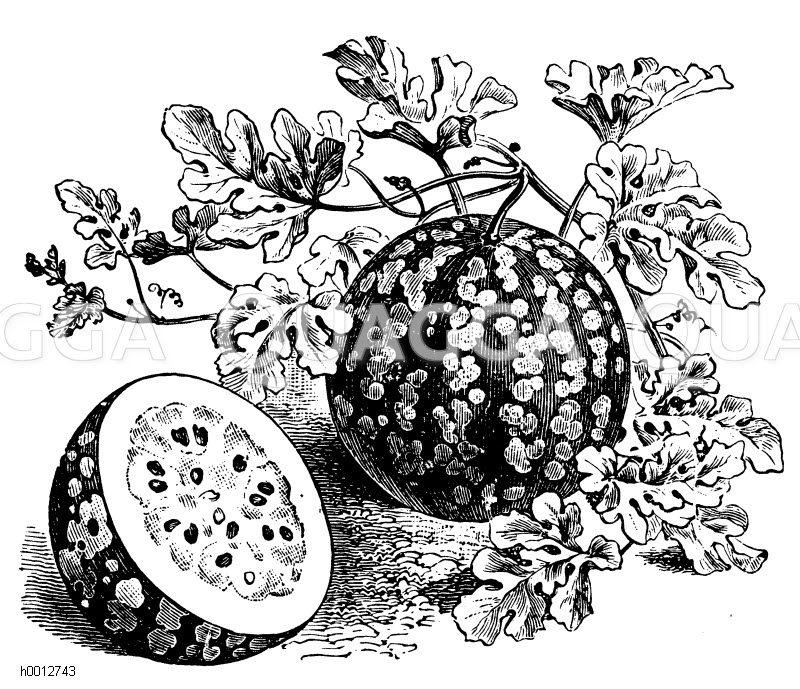 Wassermelone Zeichnung/Illustration