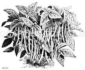 Flageolet-Wachsbohne Zeichnung/Illustration