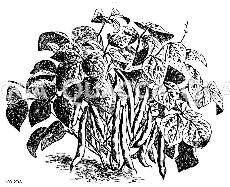 Holländische Schlachtschwert-Buschbohne Zeichnung/Illustration