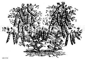 Buchsbaumerbse Zeichnung/Illustration