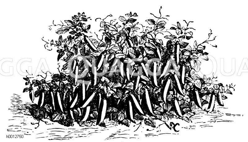 Erbse: Wunder von Amerika Zeichnung/Illustration