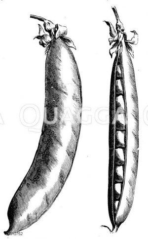 Schnabelerbse Zeichnung/Illustration