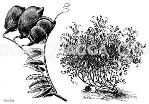 Linse Zeichnung/Illustration