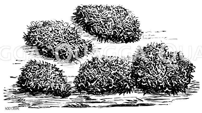 Lose Champignonbrut Zeichnung/Illustration