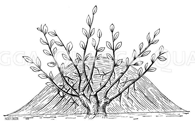 Vermehrung durch Anhäufeln Zeichnung/Illustration