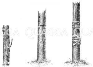 links: Ausschneiden des Edelauges bei der Okulation