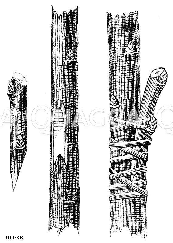links: Wildling und Edelreis beim Pfropfen in die Seite