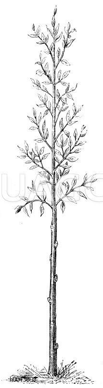 Förderung des Stammwachstums durch Erhaltung der kleinen Seitenzweige Zeichnung/Illustration