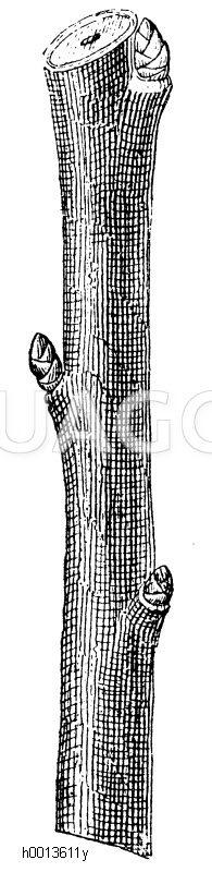 Abschneiden des Zweiges direkt über einer nach außen stehenden Triebknospe Zeichnung/Illustration