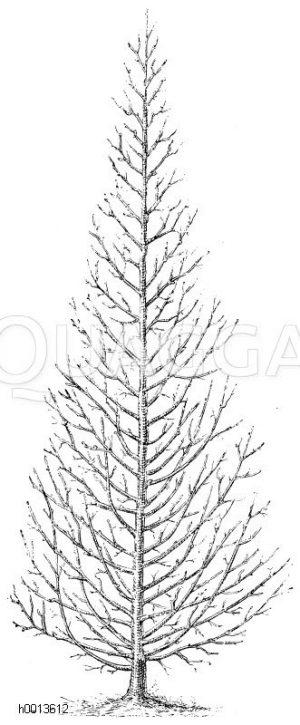 Pyramidenbaum Zeichnung/Illustration
