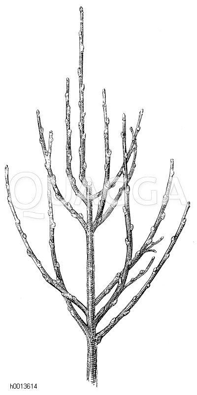 Ausbildung der zweiten Kronenetage nach dem zweiten Abschneiden des Mitteltriebes Zeichnung/Illustration