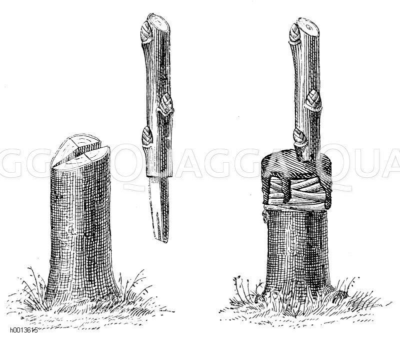 links: Wildling und Edelreis beim Pfropfen in den Spalt (Beim Einsetzen eines Reises wird der Wildling schräg geschnitten)