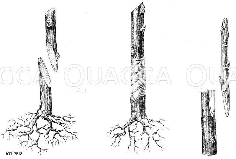 links: Wildling und Edelreis bei der einfachen Kopulation (Winterveredelung)