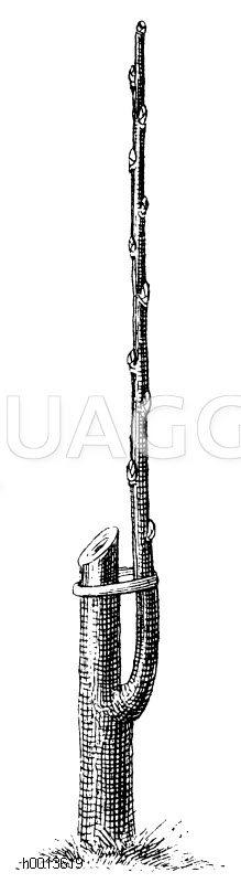 Anbinden des aus dem bei der Okulation eingesetzten Auge entstandenen Triebes an dem einstweilen stehengelassenen Stumpfe Zeichnung/Illustration