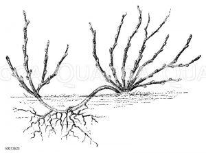 Vermehrung strauchartiger Obstgehölze durch Ableger Zeichnung/Illustration