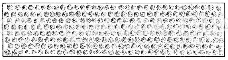Buschobst auf Zwergunterlage Zeichnung/Illustration