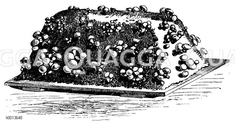 Champignonbeet Zeichnung/Illustration