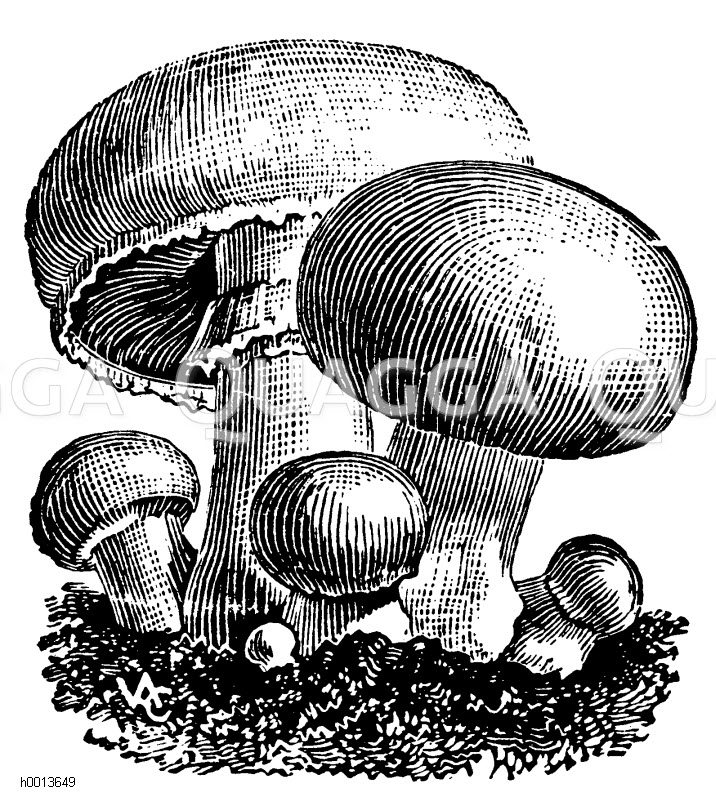 Champignon Zeichnung/Illustration