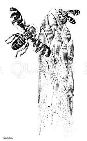Spargelfliege (Platyparaea poeciloptera) Zeichnung/Illustration