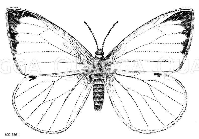 Kohlweißling Zeichnung/Illustration