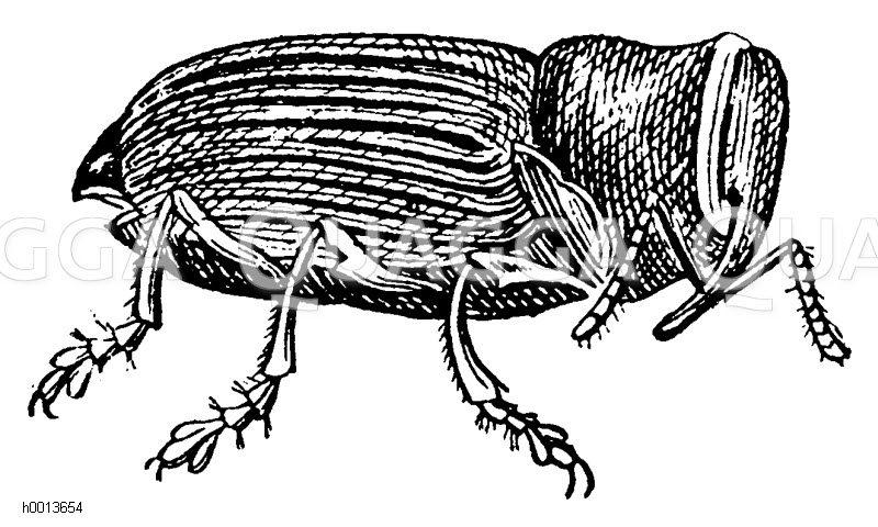 Kohlgallenrüssler Zeichnung/Illustration