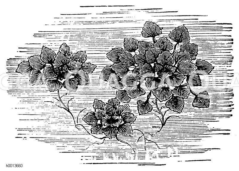 Wassernuss Zeichnung/Illustration