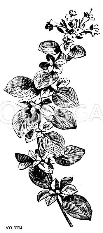 Majoranzweig Zeichnung/Illustration
