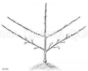 Spalierobst: Erziehung einer Palmette mit zwei Etagen Zeichnung/Illustration