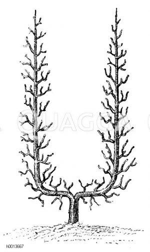 Spalierobst: U-Form Zeichnung/Illustration