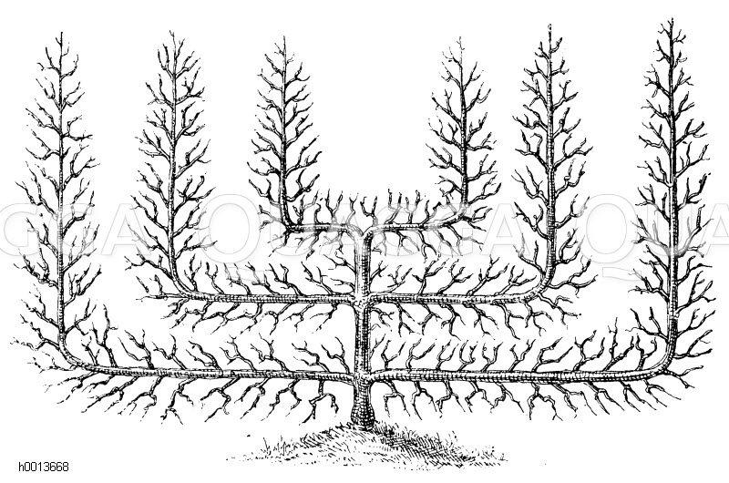 Spalierobst: Verrier-Palmette mit zwei Etagen Zeichnung/Illustration