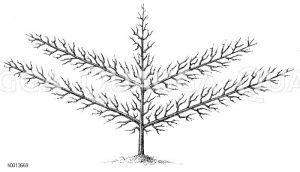 Spalierobst: Vollendete Palmette mit zwei Etagen Zeichnung/Illustration