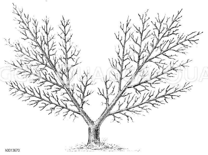 Spalierobst: Fächerspalier Zeichnung/Illustration