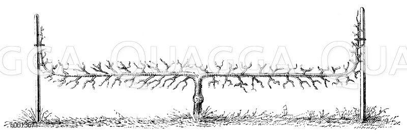 Spalierobst: Zweiarmiger wagerechter Kordonbaum Zeichnung/Illustration